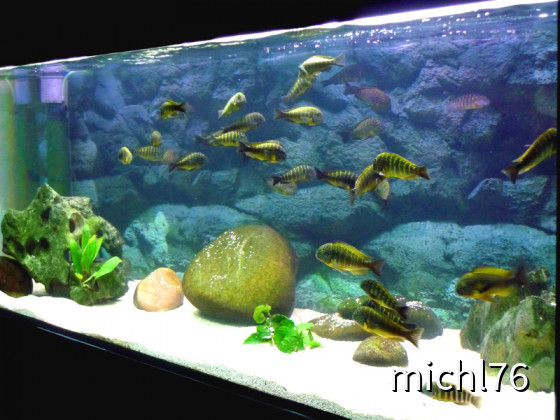 Tropheus Aquarium