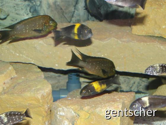 Petrochromis und Tropheus