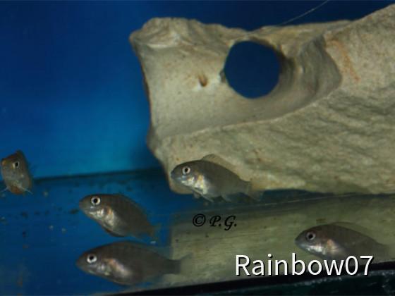 Petrochromis spec. Red Bulu Point