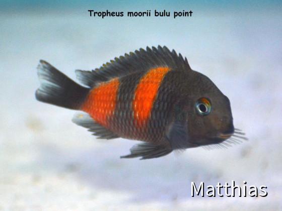 Tropheus Moorii Bulu Point
