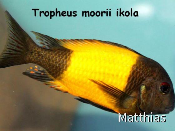 Tropheus moorii ikola