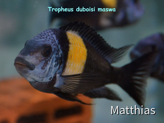 Tropheus Duboisi Maswa