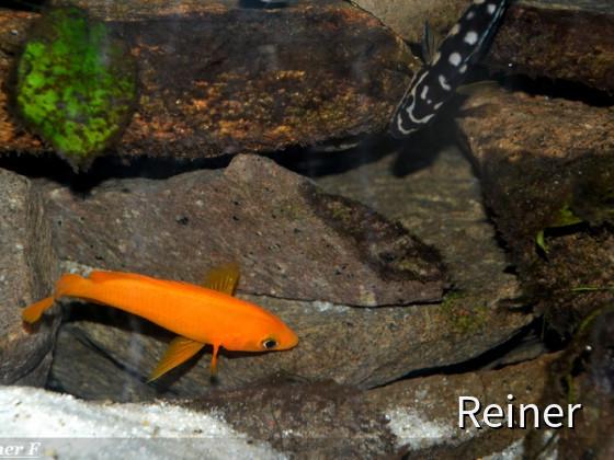 Neolamprologus Longior und Julidochromis transcriptus