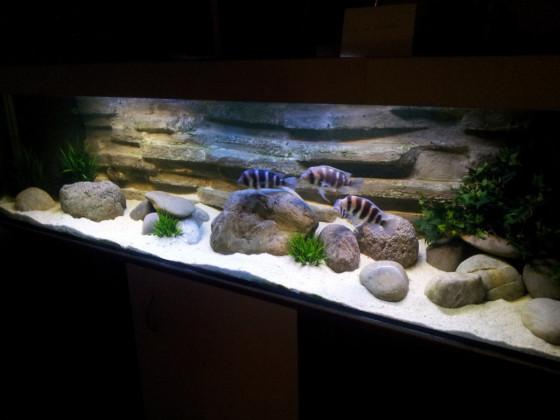 Tanganjikasse Aquarium