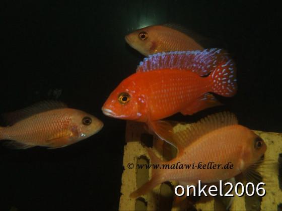 Aulonocara spec. Firefish