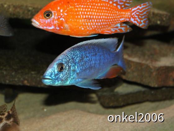 Aulonocara spec. Firefish + Haplochromis Ahli