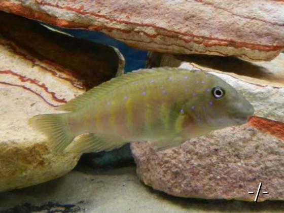 Eretmodus cyanostictus Moba