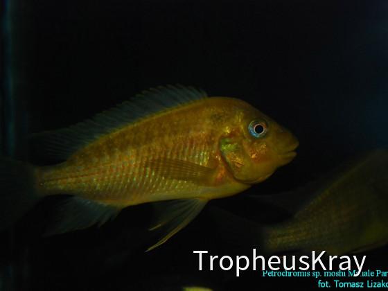 Petrochromis sp. moshi