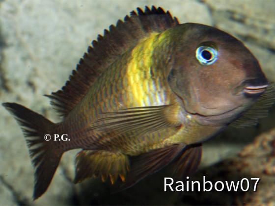 Tropheus sp. malagarasi