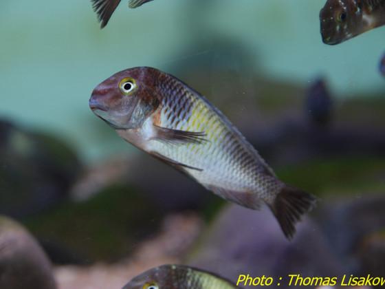 Tropheus sp. Kapampa WF