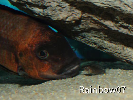 Petrochromis sp. Red Bulu Point