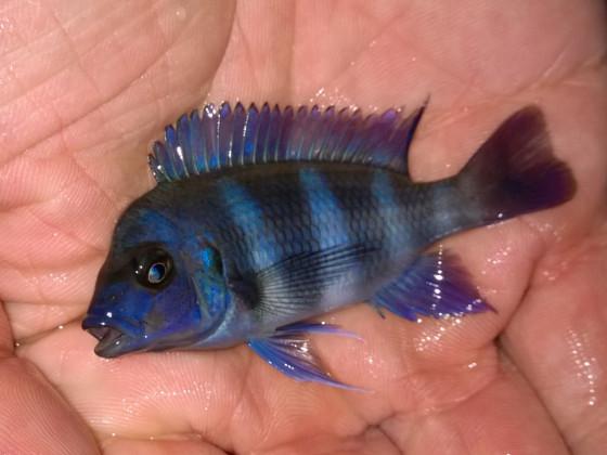 Cyphotilapia Gibberosa Blue Zaire Kapampa WFNZ