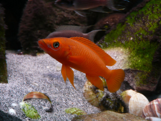 Neolamprologus longior orange