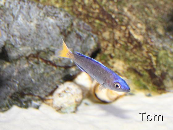 Cyprichromis leptosoma Utinta yellow tail