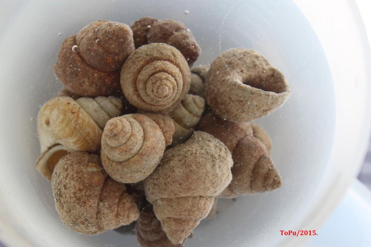 - Neothauma shells -