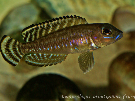 Lamprologus ornatipinnis (striped)