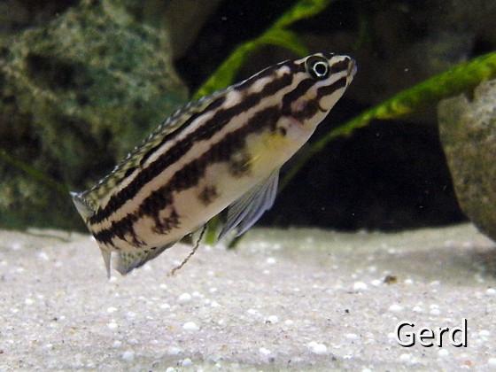 Julidochromis marlieri margera