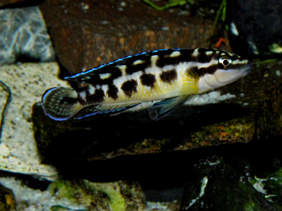 Julidochromis transcriptus Kissi Bemba WF