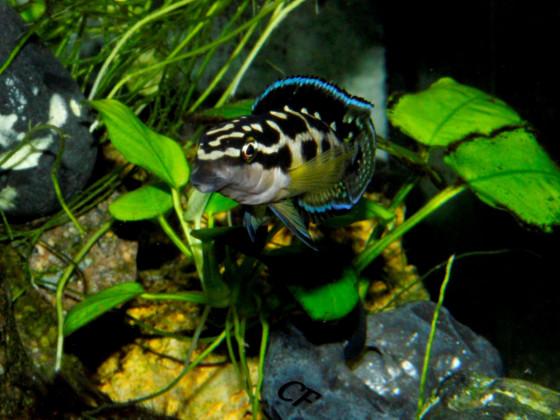Julidochromis transcriptus Kissi Bemba WF Bock