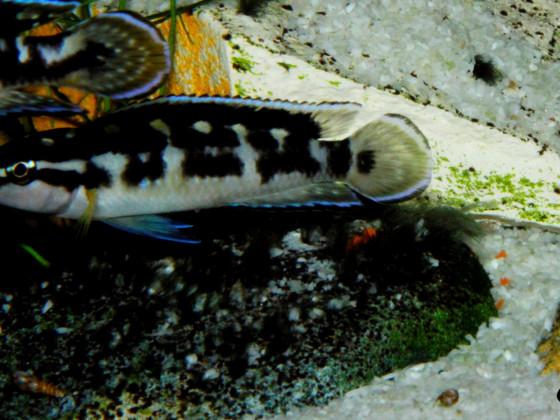 Julidochromis transcriptus Kissi Bemba WF Weibchen