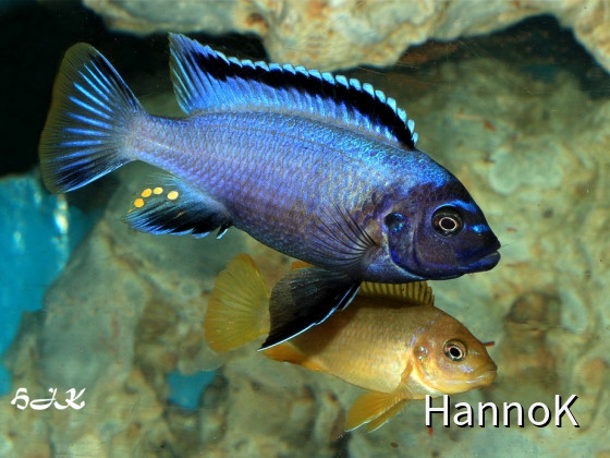 "Pseudotropheus sp. ""membe deep"""