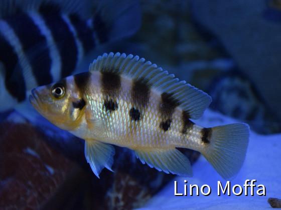 Neolamprologus Sexfasciatus Kipili Gold