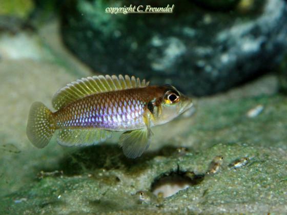 Lamprologus Ocellatus Isanga Gold WF