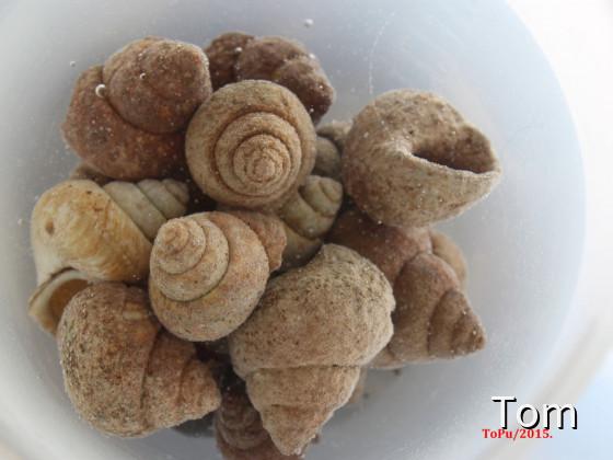 Neothauma shells