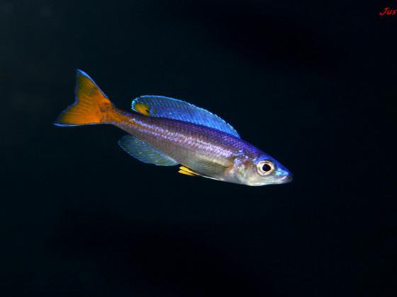 Cyprichromis leptosoma utinta fluorescent
