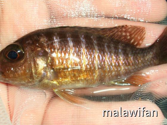 Aulonocara red rubin Weibchen