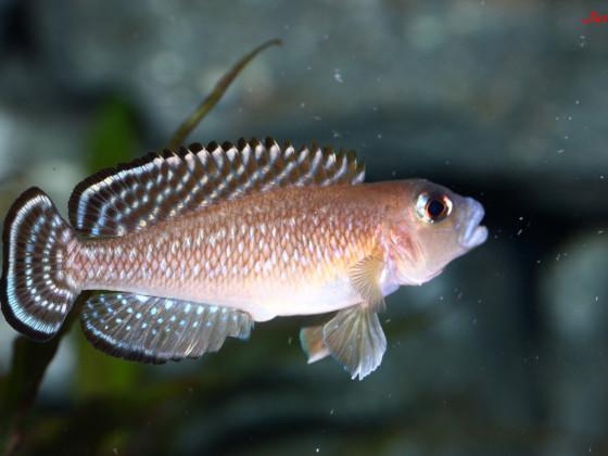 Neolamprologus ornatipinnis