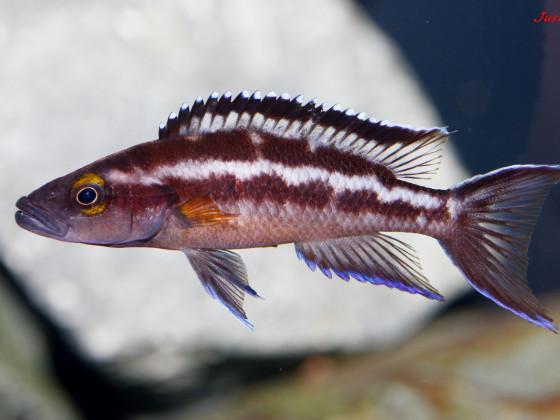 Neolamprologus Buescheri Kachese