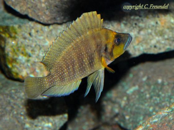 Altolamprologus Compressiceps gold head