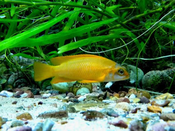 Neolamprologus Mustax orange