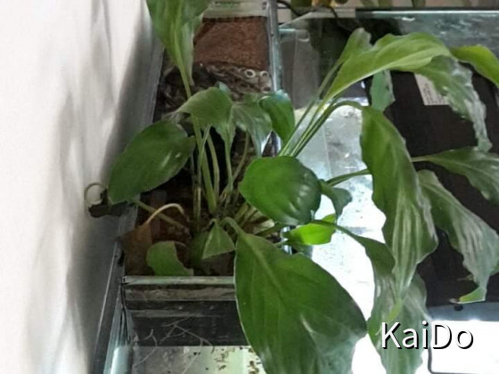 Filterbecken auf meinem Altolamprologus sp Shell  ( Sumbu Area ) Becken