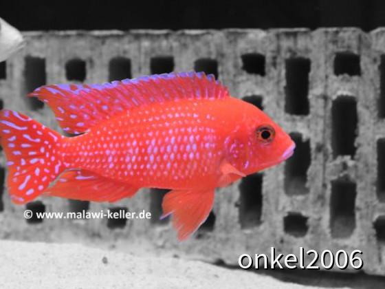 Aulonocara spec. Firefish ( Zuchtform )