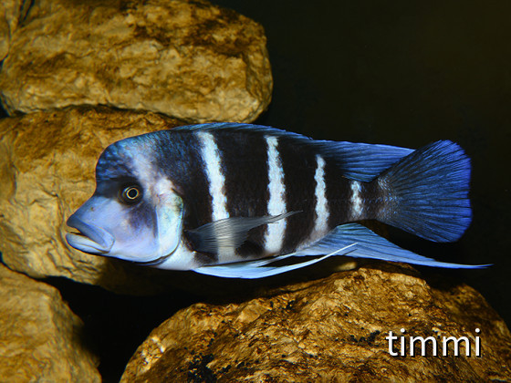 Frontosa Blue Zaire