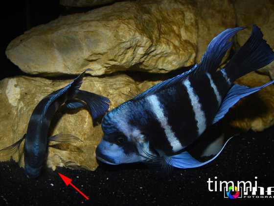 Frontosa Blue Zaire Moba