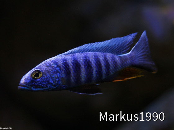 "Sciaenochromis fryeri ""chidunga rocks"" WF"