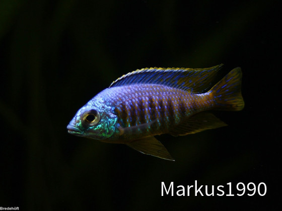 "Placidochromis sp. ""jalo"""
