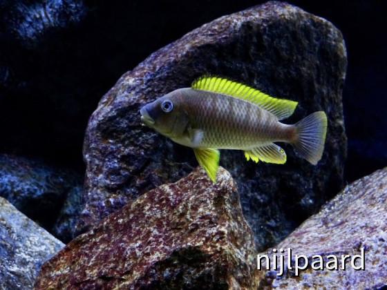 Petrochromis famula Kigoma F1