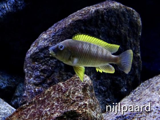 Petrochromis famula Kigoma, F1 male