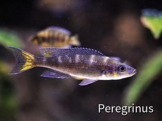 Paracyprichromis brieni chituta, F1 Male
