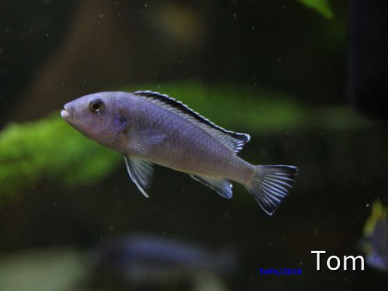 Pseudotropheus/Chindongo socolofi