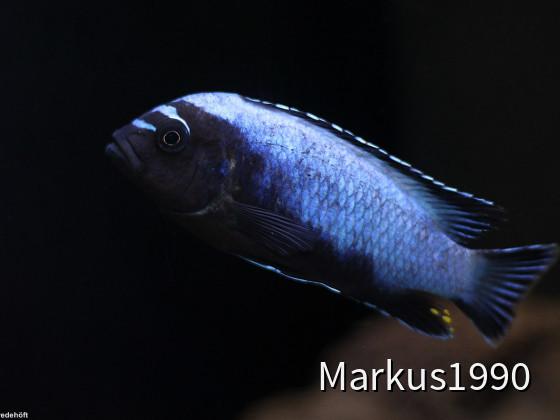 Metriaclima koningsi (ehemals sp. membe deep)
