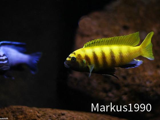 "Links: Metriaclima koningsi ""likoma"" (ehemals sp. ""membe deep"") rechts: Metriaclima sp. ""zebra gold"" kawanga"