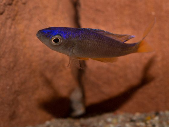 "Cyprichromis leptosoma ""utinta"""