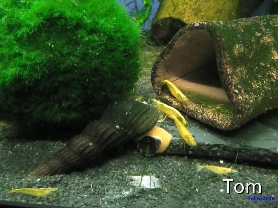 "Sulawesischnecke ""Orange Tylomelania"" & Neocaridina davidi ""Yellow"""
