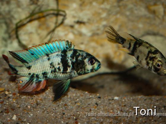 "Paralabidochromis chilotes ""Zue Island"""
