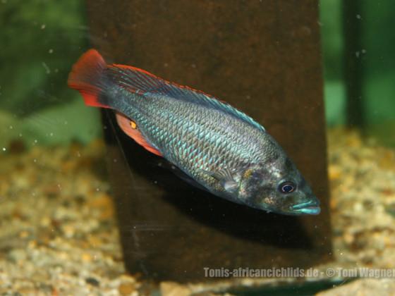 Paralabidochromis Chiloten  - Makobe Island -